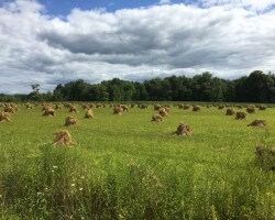 Amish hand shocked oats 2020